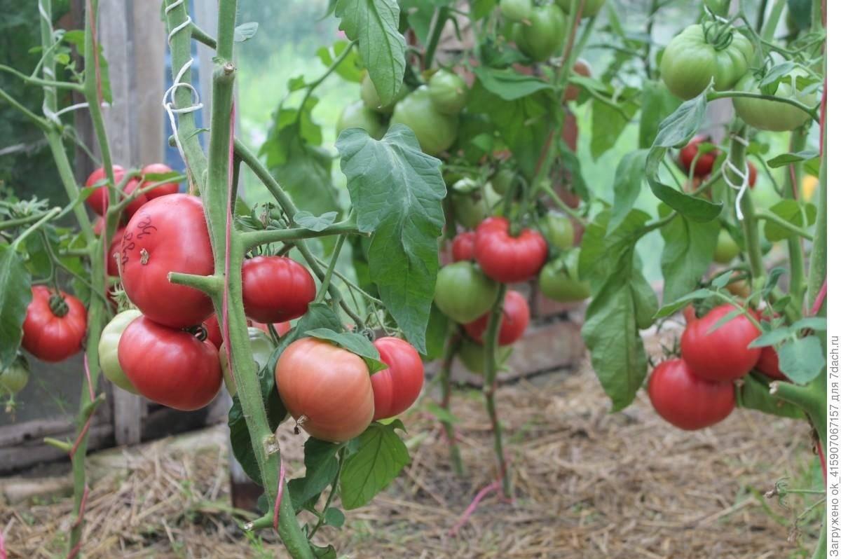 Томат благовест: характеристика, описание и урожайность сорта, отзывы