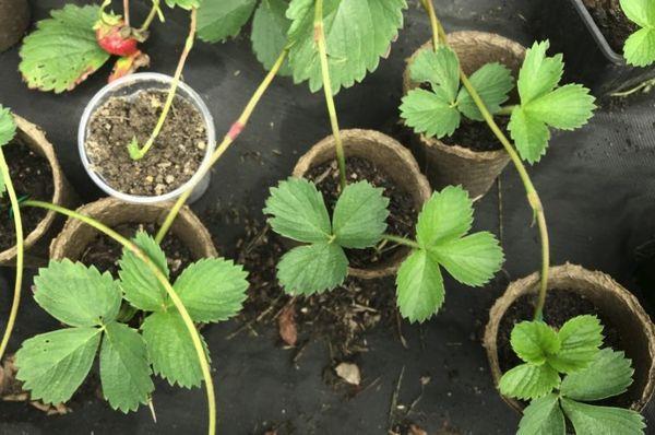 Как размножать клубнику усами правильно? как сажать? сроки посадки. фото — ботаничка.ru