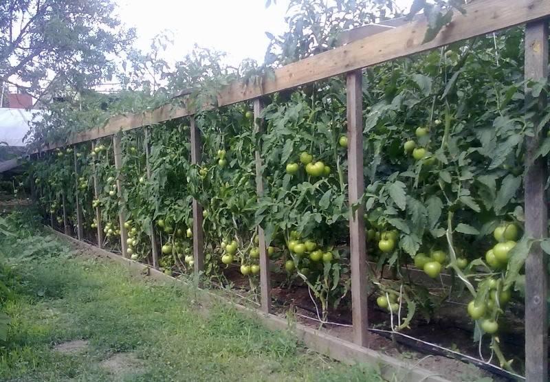 Подвязка помидор в открытом грунте: лучшие способы, применение шпалеры, фото и видео
