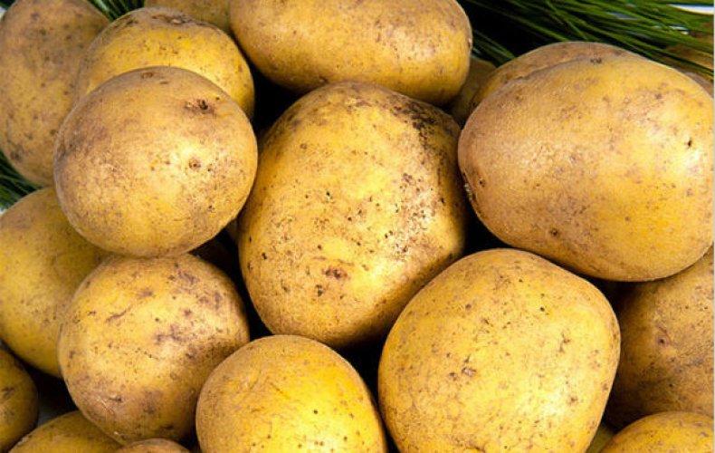ᐉ сорт картофеля зорачка: описание, посадка и уход - orensad198.ru