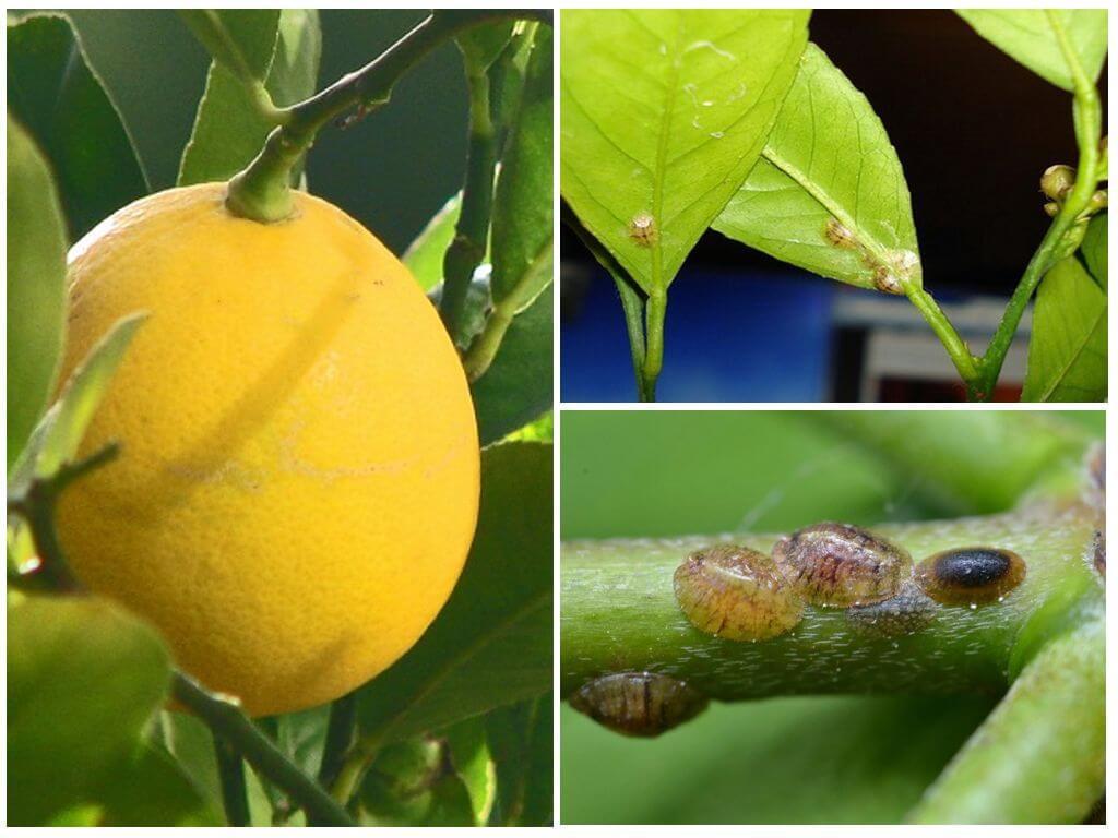 Какими способами избавиться от щитовки на лимоне, меры борьбы и лучшие средства для обработки