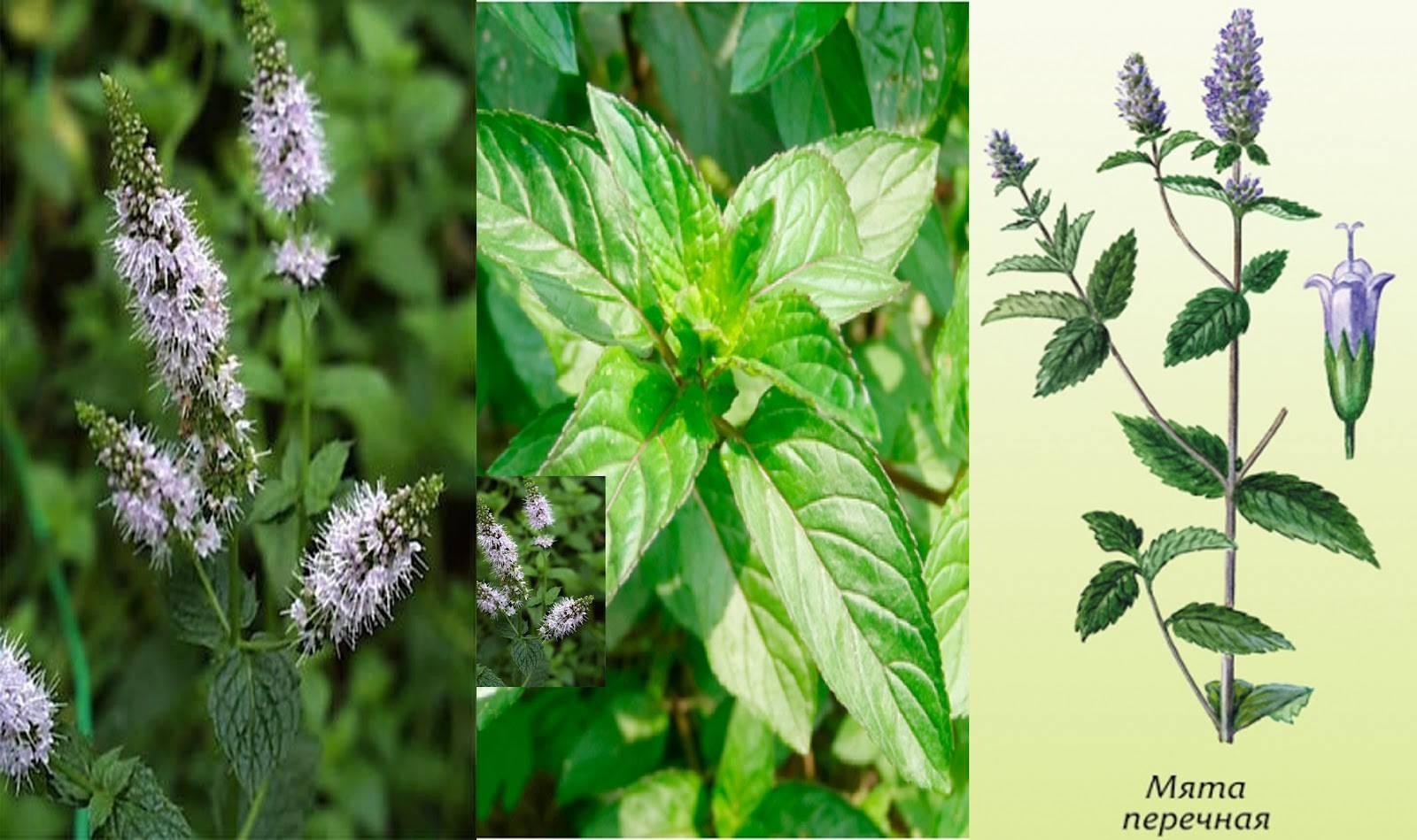 Мята: виды и сорта - agroflora.ru