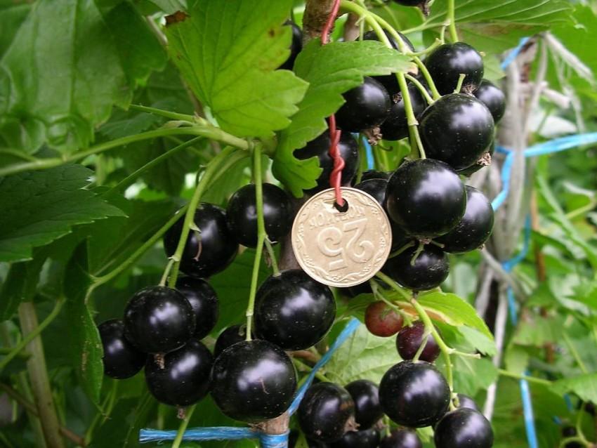Смородина добрыня: описание ягодного сорта, особенности выращивания и ухода