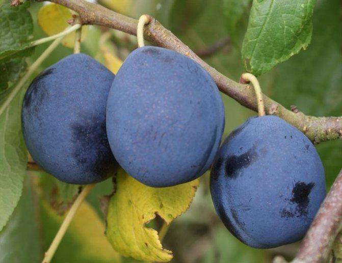 6 лучших сортов синих слив, которые легко выращивать и радуют отличным урожаем