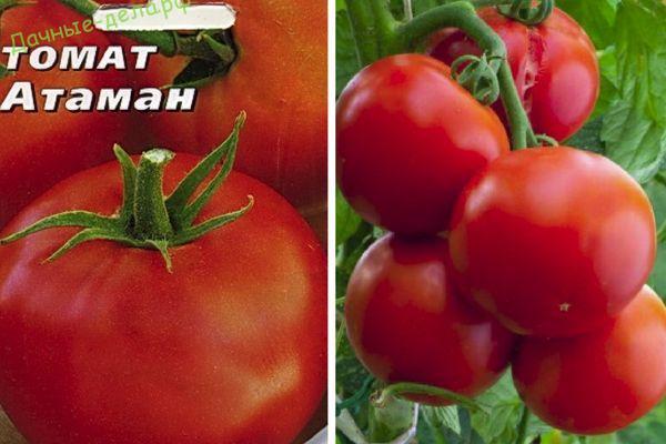 Описание и агротехника выращивания томата сорта Атаман