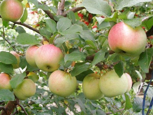 Штамбовая яблоня: отзывы, сорта, фото, как обрезают, посадка, уход