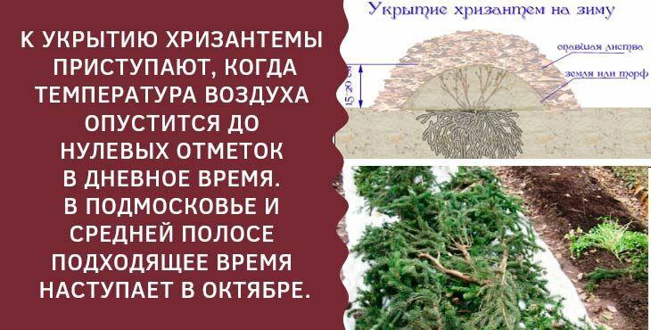 Хранение хризантем в погребе, подвале, теплице, открытом грунте