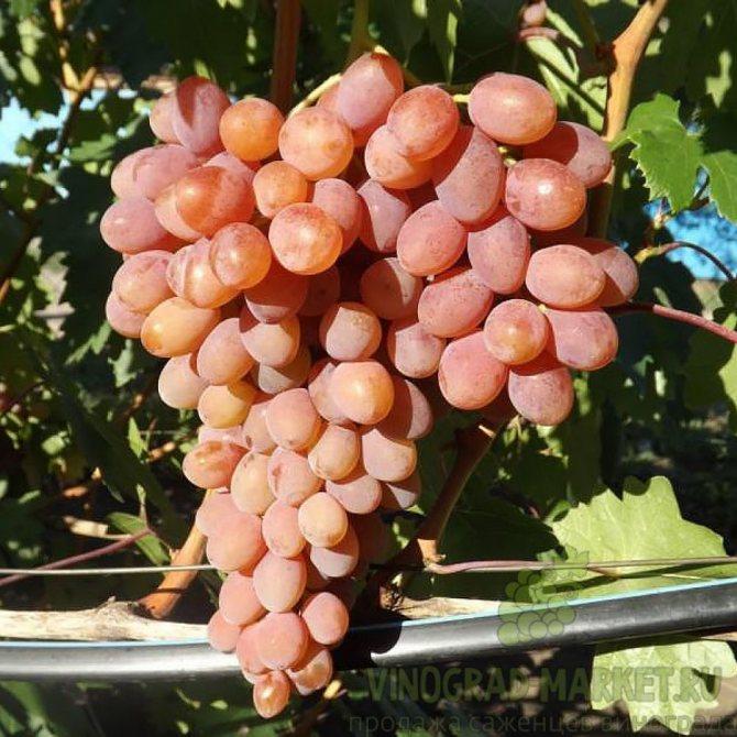 """Подробное описание столового сорта винограда """"румба"""""""
