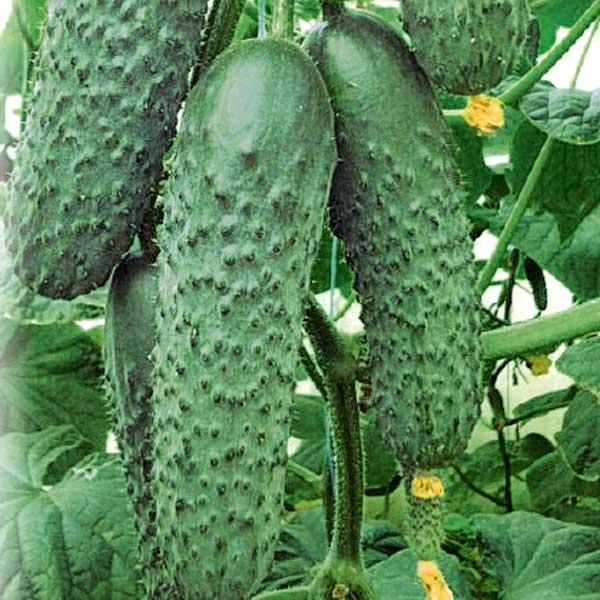 Огурец седрик f1: описание и урожайность сорта, фото, отзывы