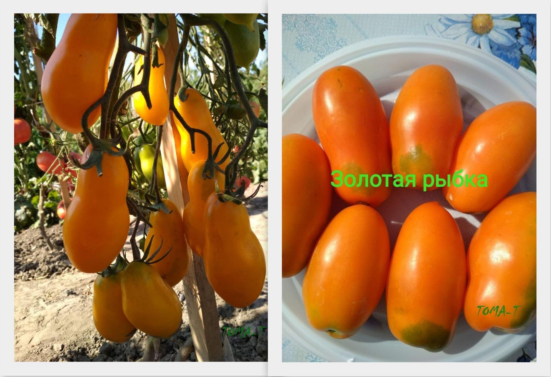 """Томат """"золотая рыбка"""" описание сорта и фото вкусных помидорок русский фермер"""