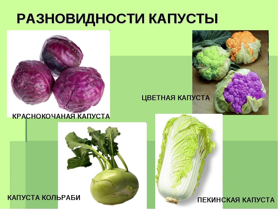 5 необычных видов капусты, которые нужно обязательно выращивать. описание, фото — ботаничка.ru