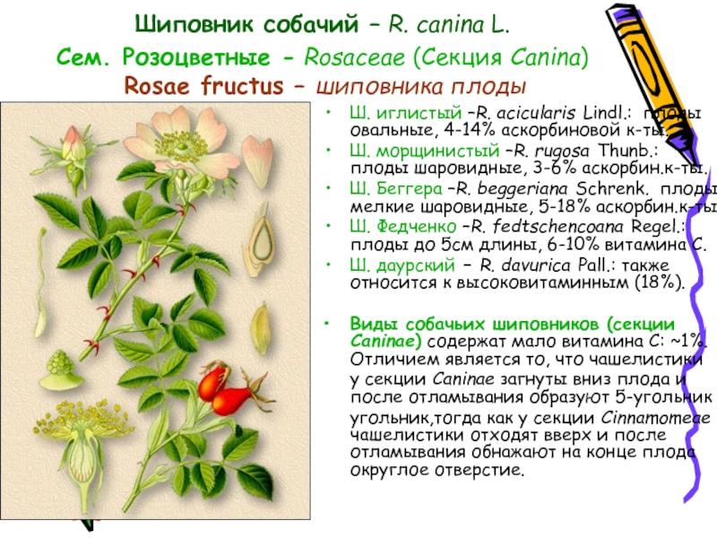 Собачий шиповник (19 фото): как выглядит и как отличить его от обычного, описание и польза плодов