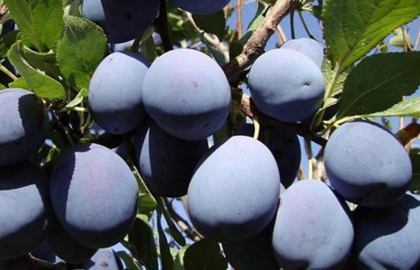 О сливе богатырская: описание сорта, агротехника выращивания, особенности ухода