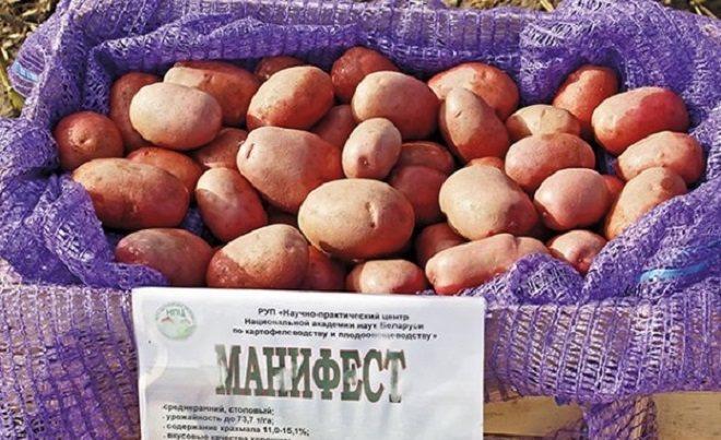 Сорт картофеля манифест: характеристика, описание с фото, отзывы – сад и огород своими руками