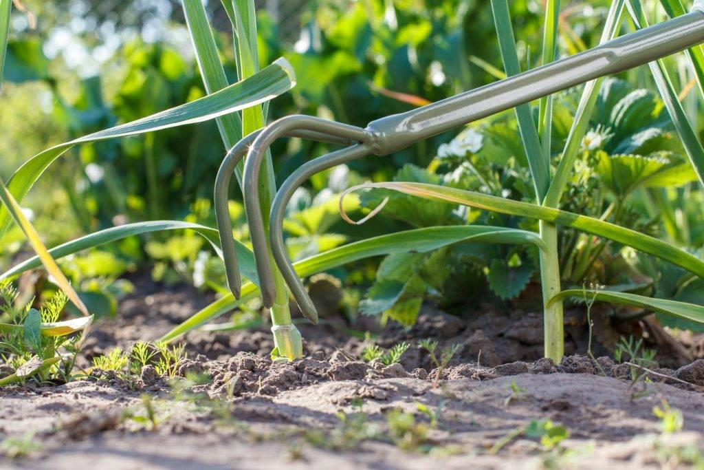 Посадка чеснока в 2021 году: сроки, благоприятные дни, выращивание и уход