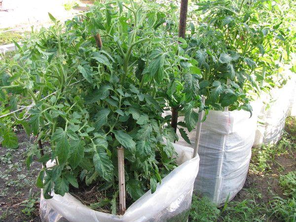 Выращивание помидоров в теплице – бизнес-план с расчетами
