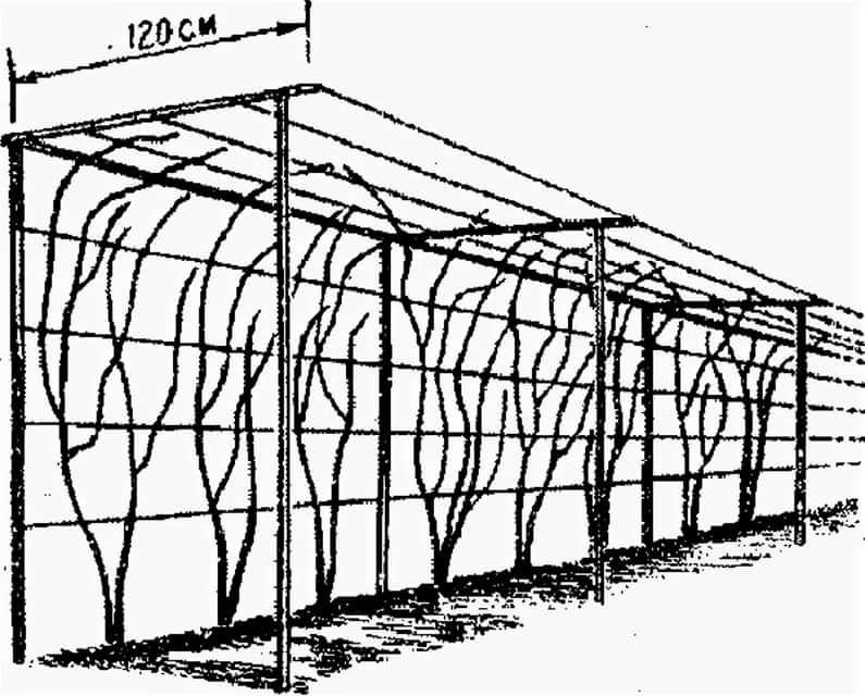 Подвязка винограда — способы, сроки и другие особенности
