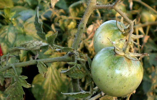 Серая гниль на томатах в теплице: фото, как бороться