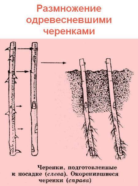 Размножение облепихи: описание лучших способов размножения
