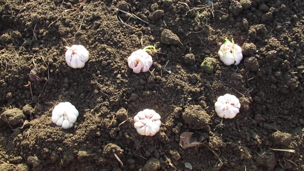Чеснок однозубка: посадка, выращивание и уход, когда выкапывать и убирать с фото