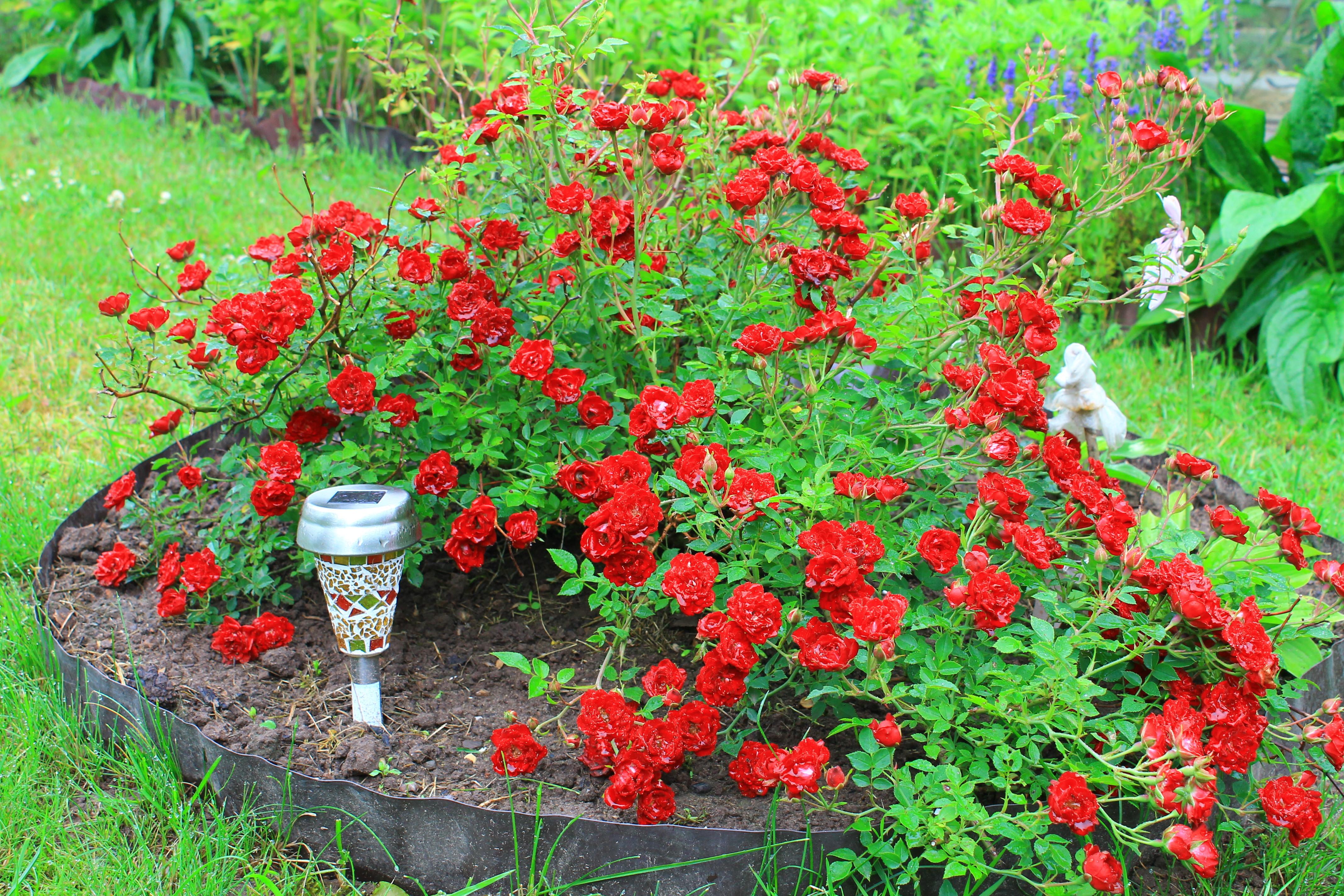 Почвопокровные розы в дизайне сада, фото сортов