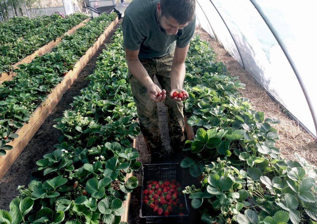 Как правильно выращивать клубнику в теплице круглогодично: технология ухода, выращивание и опыление
