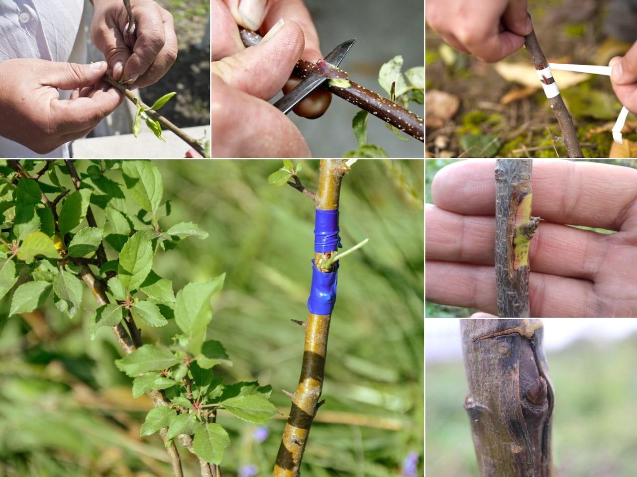 Прививка плодовых деревьев: что на что прививать