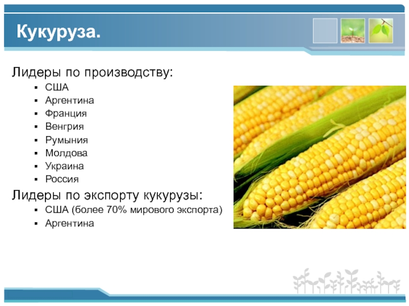 Кукуруза: фото, как растет, выращивание поэтапно в открытом грунте, выбор сортов и гибридов, посадка и уход