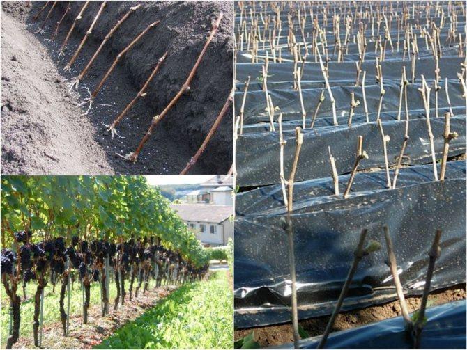 Пересадка винограда осенью: сроки, способы, правила | заготовки на зиму
