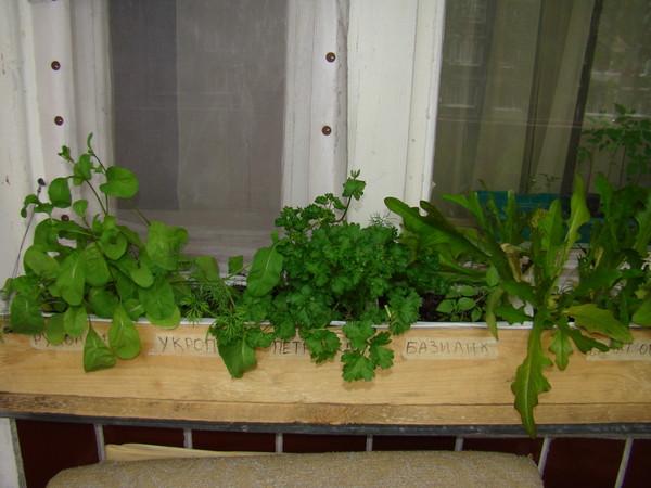 Руккола на подоконнике: посадка, уход и выращивание
