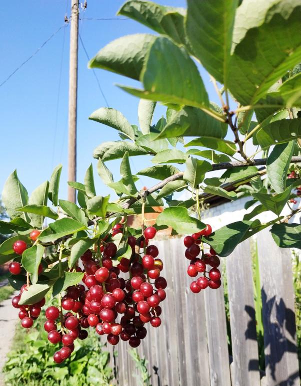 Описание и характеристики церепадуса, полезные свойства гибрида вишни и черемухи, посадка и уход - всё про сады