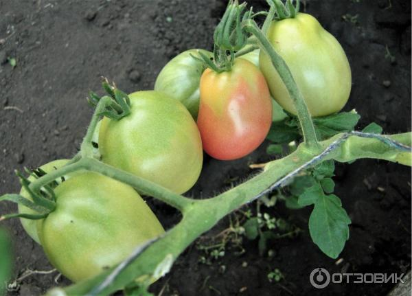 Описание сорта томата обские купола и его характеристики – дачные дела