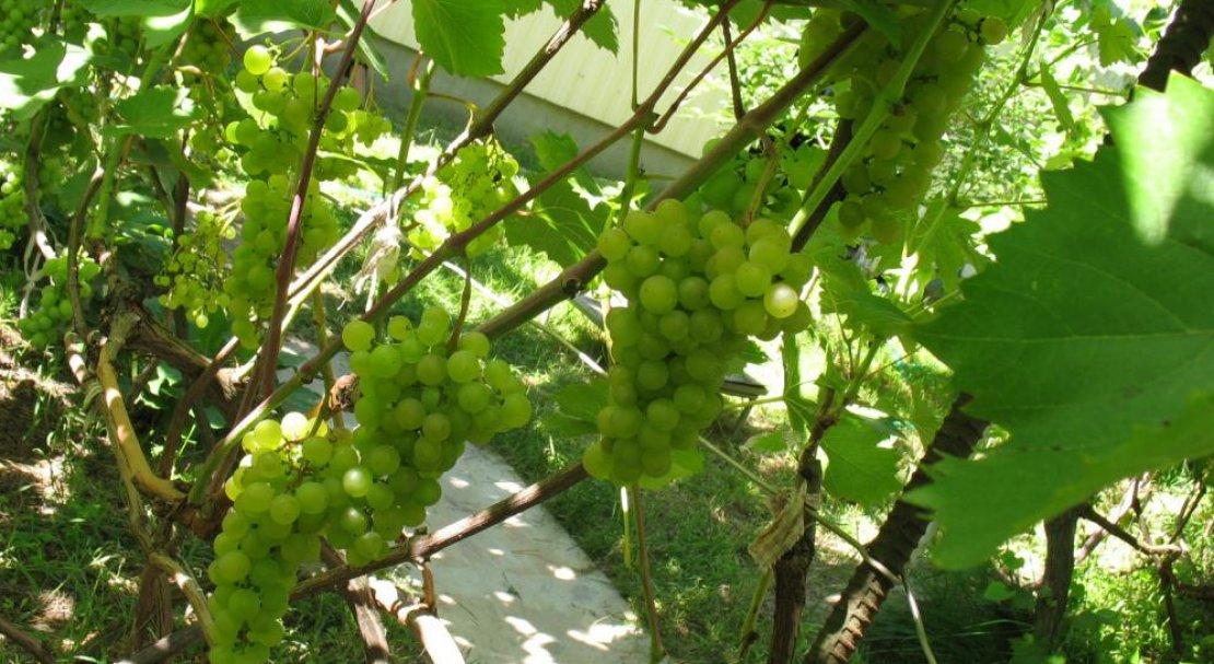 Виноград платовский: описание и характеристика сорта, технология посадки и уход
