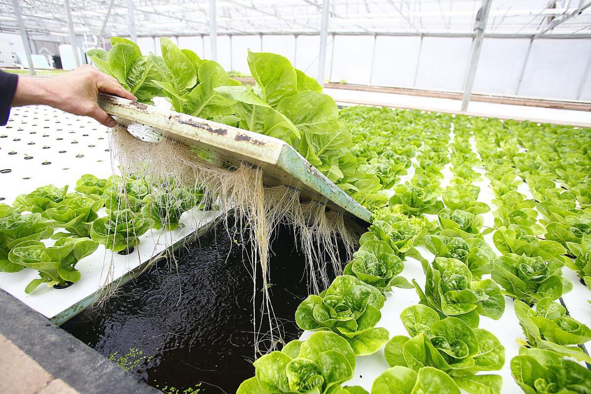 Как выращивать базилик в теплице на продажу?