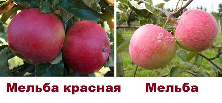 Яблоня красавица сада: особенности сорта и ухода