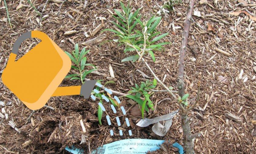 Посадка и уход за облепихой весной в открытом грунте: особенности выращивания и размножения, видео инструкция
