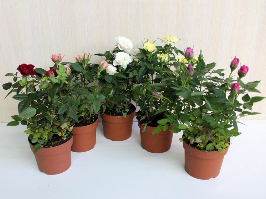 Все об изящных комнатных розах: описание и фото, сорта и выращивание и другие важные нюансы