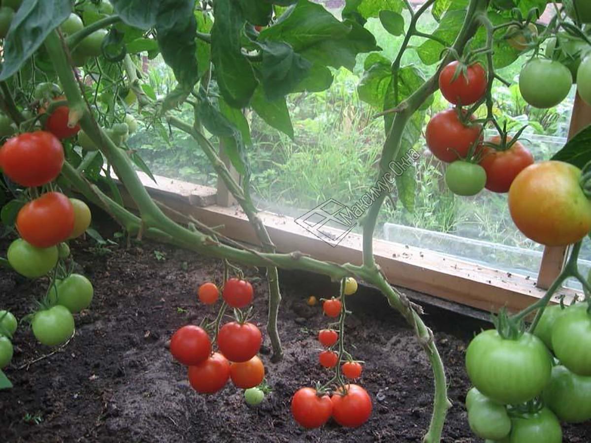 Томат сибирский скороспелый: характеристики, урожайность, особенности выращивания и ухода | садоводство и огородничество