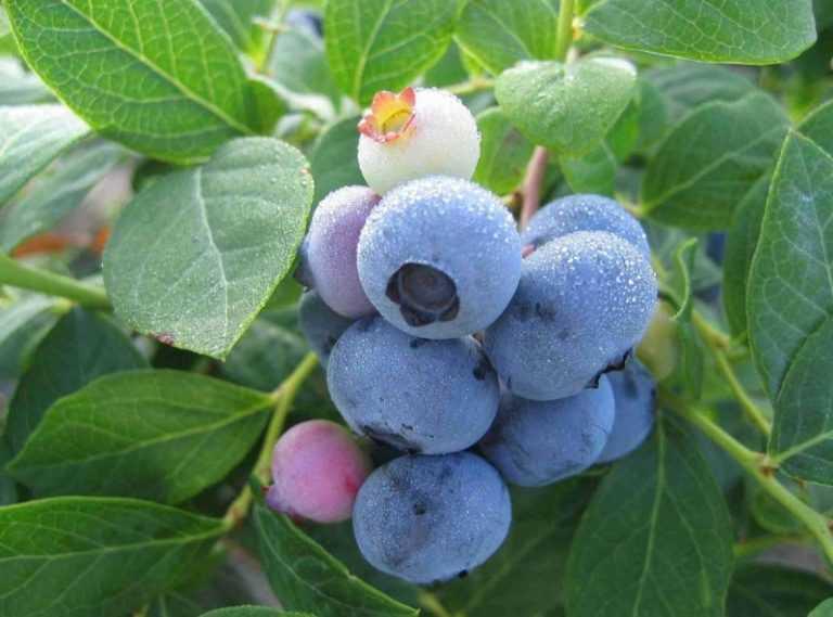 Голубика высокорослая: посадка и уход, описание сортов, размножение