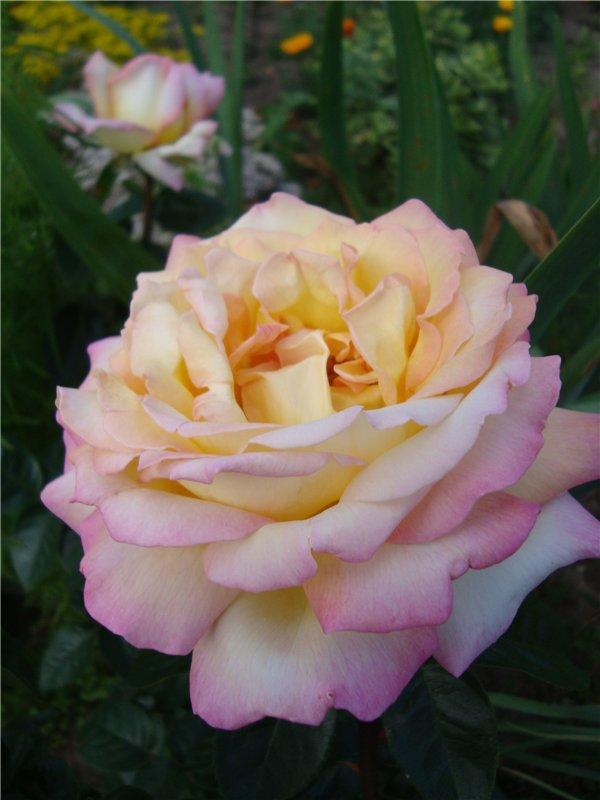 Глория дей роза - описание, награды сорта, плюсы и минусы, выращивание | розоцвет