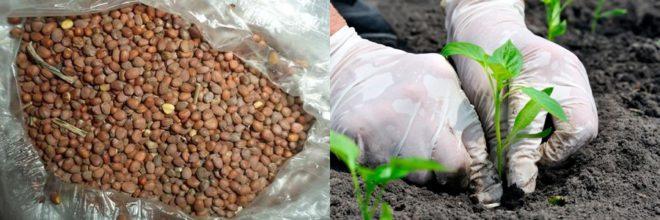 Дайкон: когда сажать семена в открытый грунт и как, может быть срок посадки редьки на даче в средней полосе и других регионах в июле или августе и выращивание и уход