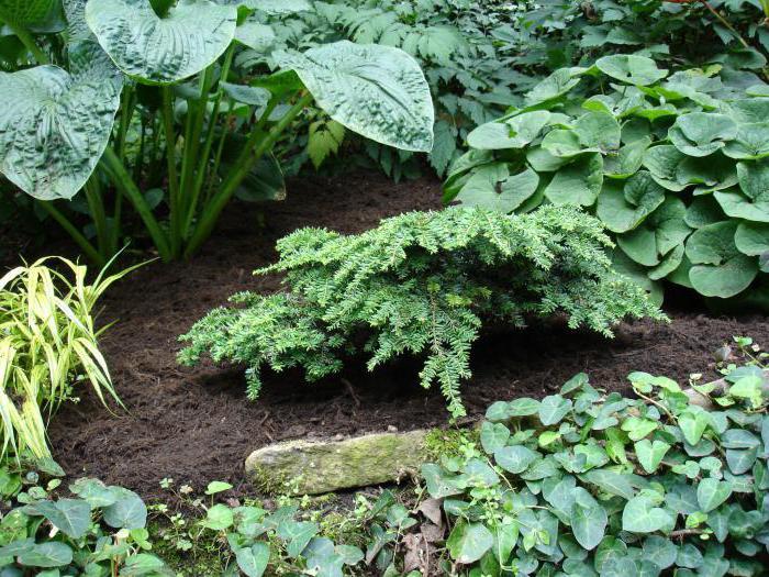 Карликовый сад на даче: низкорослые деревья, преимущества и недостатки выращивания, особенности ухода