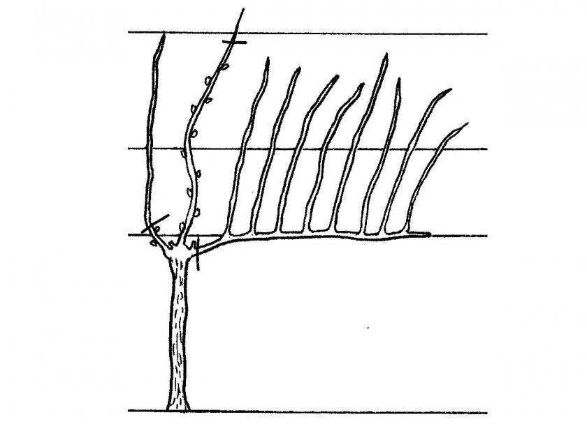 Выращивание винограда из черенка: как выращивать, уход, посадка