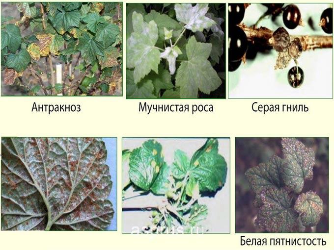 Болезни и вредители черной смородины: описание, методы лечения