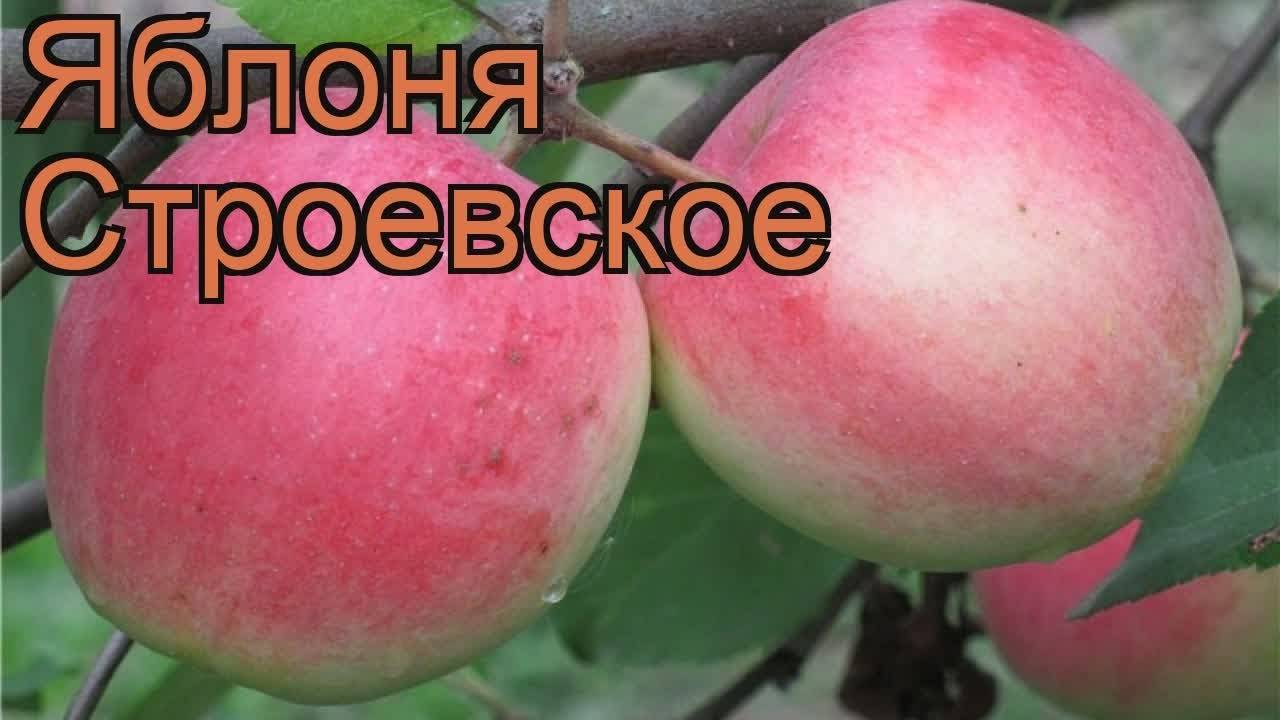 Яблони строевские: описание сорта и особенности его выращивания, фото и характеристики selo.guru — интернет портал о сельском хозяйстве
