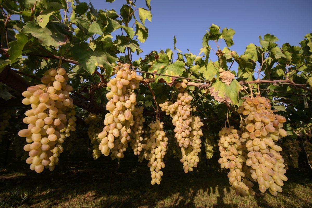 Виноград тайфи: польза и вред, описание сорта, калорийность, фото