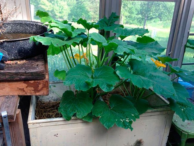 Огород на балконе или на окне: особенности и секреты выращивания