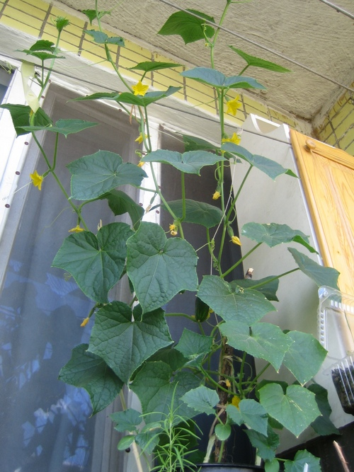 Когда сажать тыкву на рассаду из семян в 2021 году