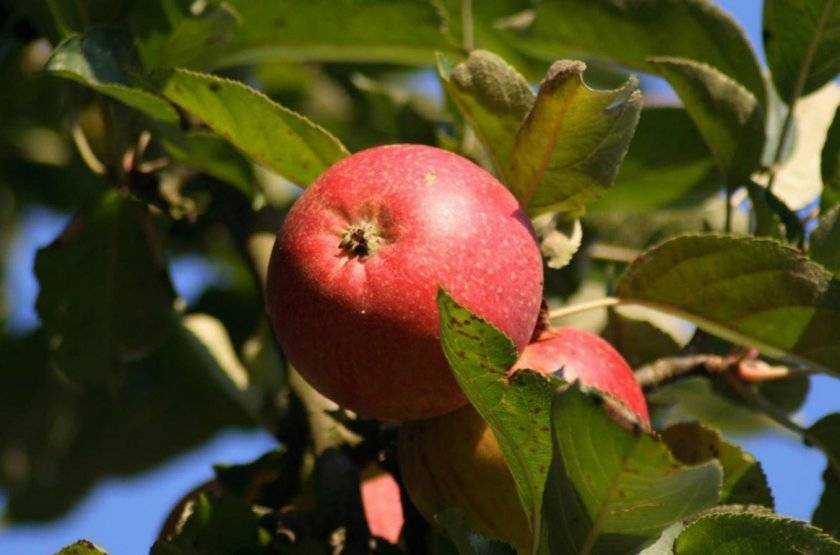 Яблоня беркутовское: реальные отзывы, секреты выращивания, фото