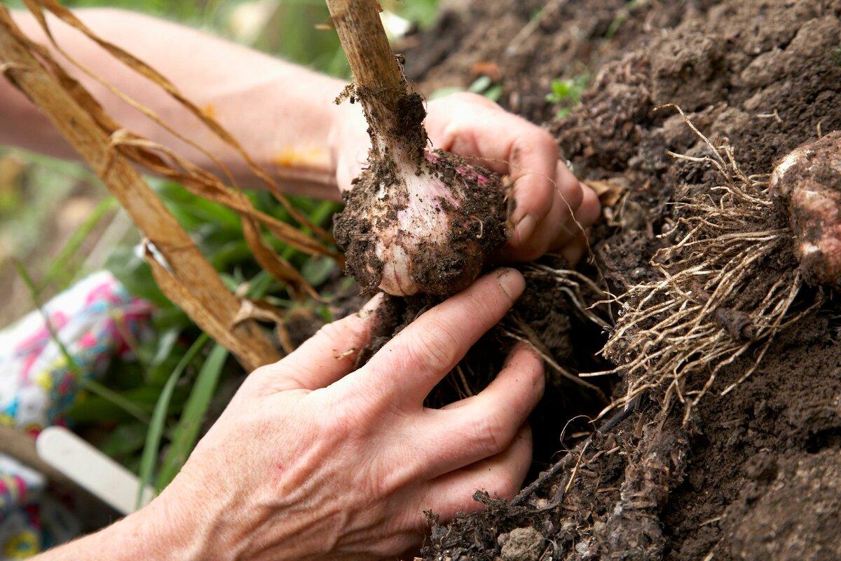 Как правильно хранить лук-севок, чтобы не гнил и не высыхал